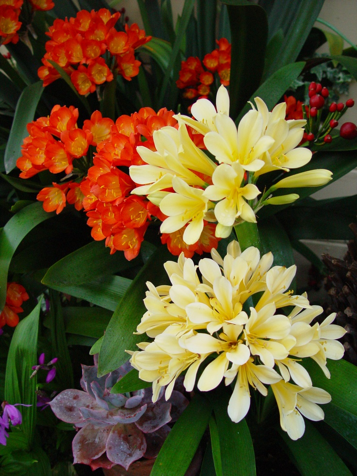 Orange and yellow Clivias