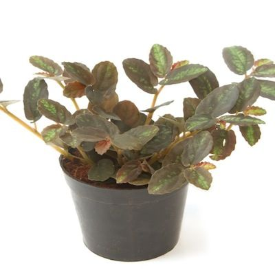 Purple waffle plant - Researchers at the University of Georgia tested 28 common indoor decorative plants for their ability to remove the top five indoor pollutants.  And the purple waffle plant was rated one of the best detoxifiers. - See more at: http://www.healthcentral.com/cold-flu/cf/slideshows/10-houseplants-detox-your-home?ap=831#slide=3