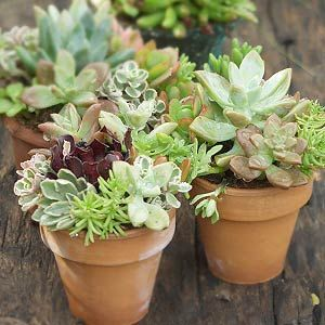 Purchase small pots of various succulents. The textures are fun to contrast, but don't forget about color. A variety of greens, grays and reds will give your arrangement a jewel box quality. Select a specimen that will be your focal point and build off of it.