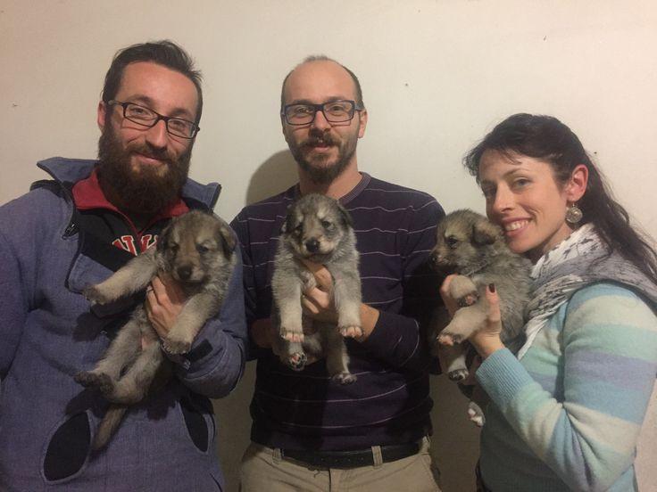 Alcuni nostri cuccioli di Saarloos  #newlitter #saarloospuppies #cuccioli #DiFossombrone