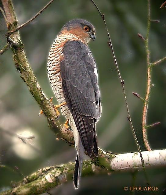 Épervier d'Europe - Accipiter nisus