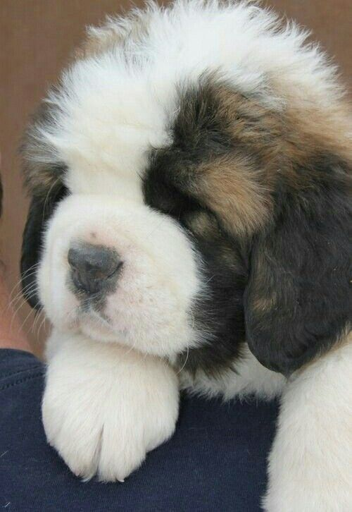 Saint Bernard sleepy head