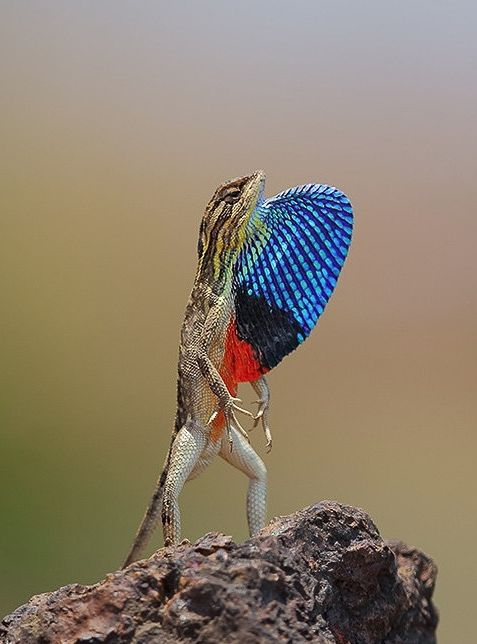 This male fan-throated lizard is displaying his colorful dewlap, likely to show off to other males or to attract a female.Image credit: Souradip Das