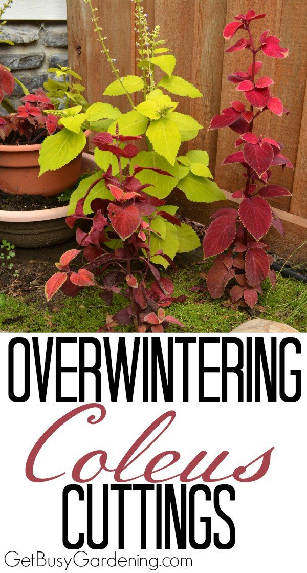 Easy steps for overwintering coleus plants. Coleus can be overwintered indoors as cuttings or houseplants, it's worth the effort to save money every spring.
