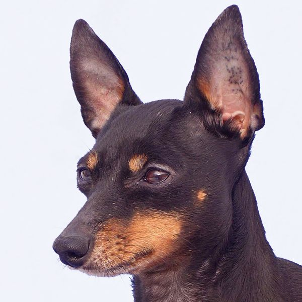 EnglishToyTerrier cutiepie! Head to NoahsDogs.com for more information about the breed.