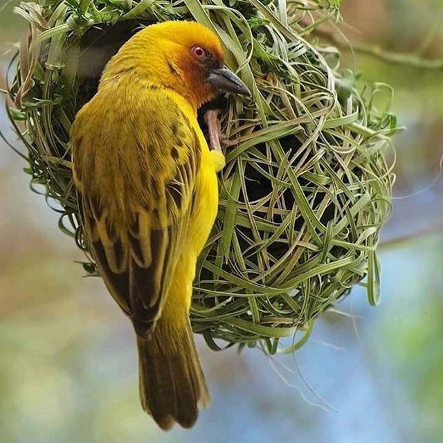 طائر غريب من فصيلة العصافير ينتشر في الريف اليمني ويبني العديد من الأعشاش له على الأشجار الشوكية يتميز بلونه الأصفر المدمو Beautiful Places Birds Animals