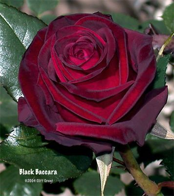 Black Magic Roses~