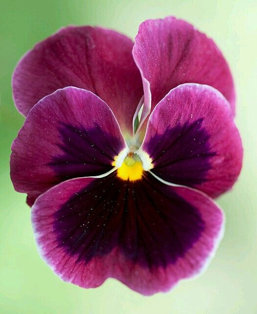 Amor Perfeito, é apaixonante ver um jardim repleto de amor-perfeito, com suas cores vibrantes e cheias de vida. É realmente uma expressão da Natureza. Mas as lindas flores tem um certo tempo de exuberância e beleza. Depois fenecem, permanecendo sua essência. Assim é a paixão. No início toma conta de todos os nossos sentidos, depois se arrefece. Se for um amor verdadeiro, permanece O que essa flor nos ensina é que nada é para sempre. Os bons momentos vem e vão. Mas as vezes, são únicos…