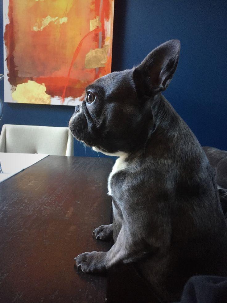 Olive the French Bulldog