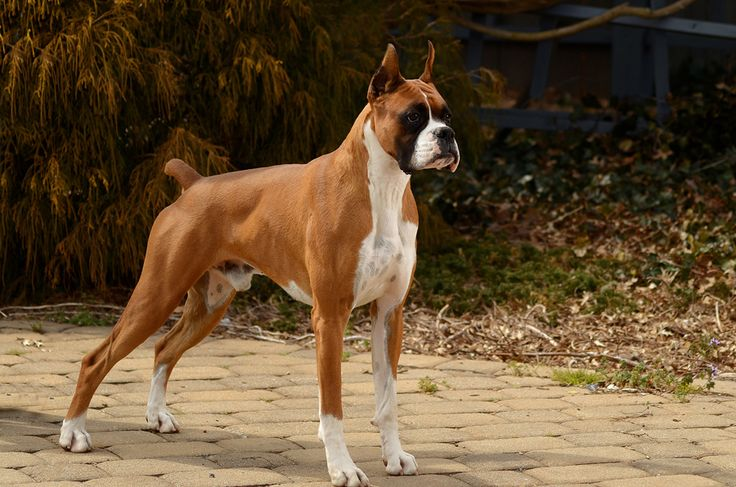 boxer dogs | Tumblr