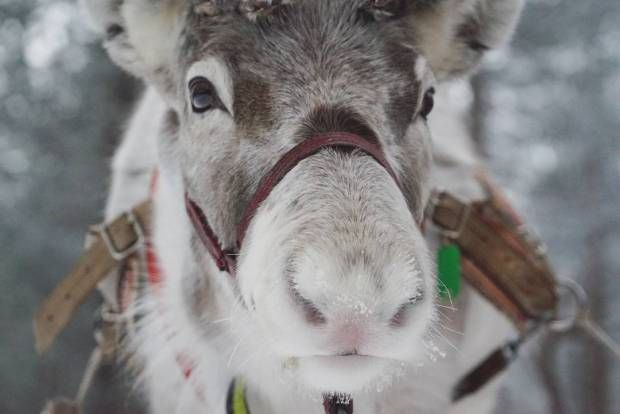 Meet a reindeer in Lapland