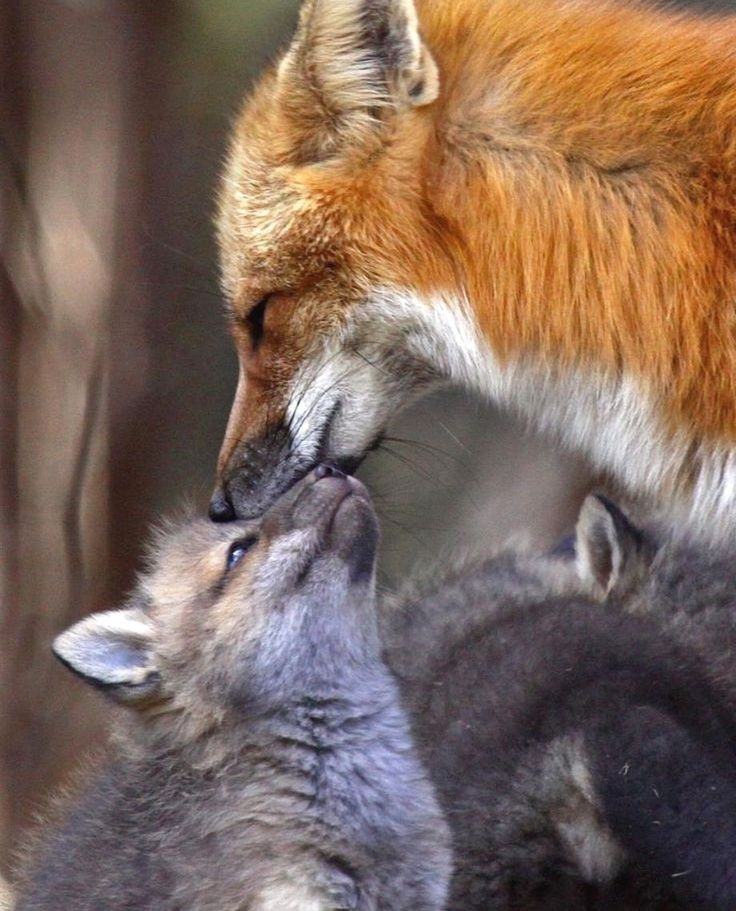 своего лисы с котятами картинки влияние характер барышни