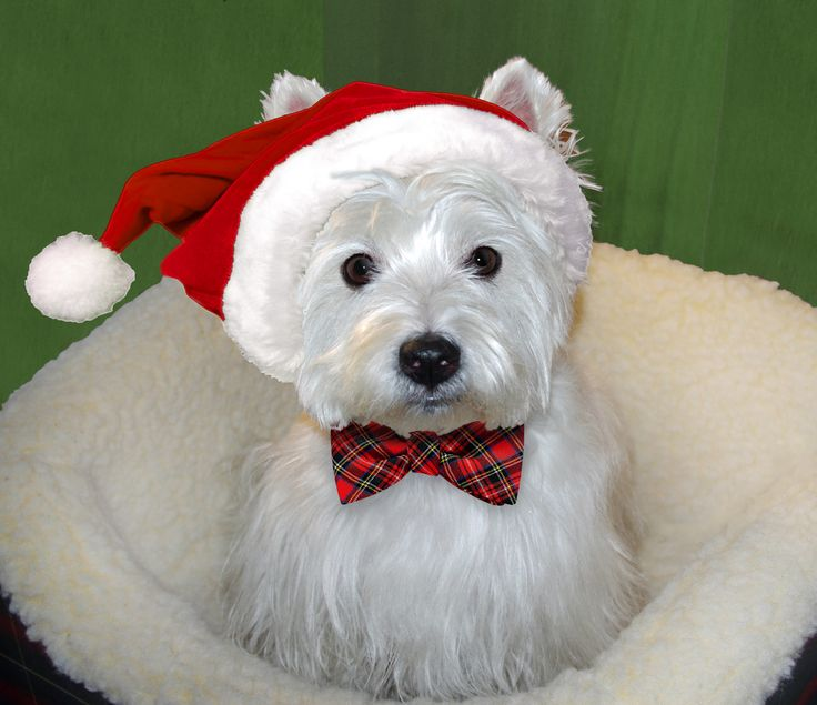 334 Best Westie Christmas Images On Pinterest Westies