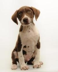 Karl is an adoptable German Shorthaired Pointer Dog in Santa Cruz, CA. Karl is 2 months old. The Santa Cruz SPCA's adoption package for dogs and cats includes spay/neuter, vaccinations, microchip/regi...
