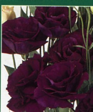deep purple lisianthus - s