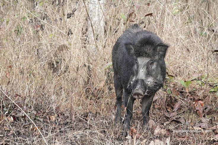 Wild boar. Apparently these animals are unpredictable and dangerous. This pic was taken from the safety of the safari bus
