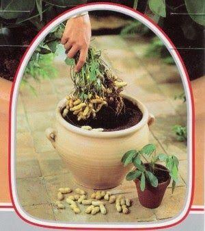 Cultiva cacahuetes en una maceta de tu casa