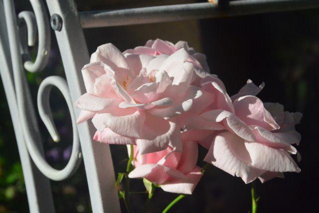 New Dawn  ruusu