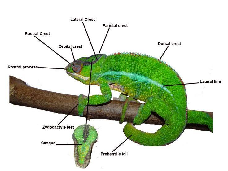 CaptiveBred's Panther Chameleon Care Guide - CaptiveBred Reptile ...
