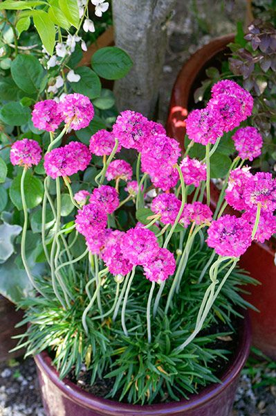 Armeria Bees Ruby