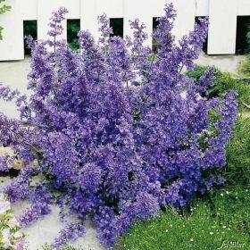 Good Lavendelblaue Katzenminze St ck g nstig online kaufen MEIN SCH NER GARTEN