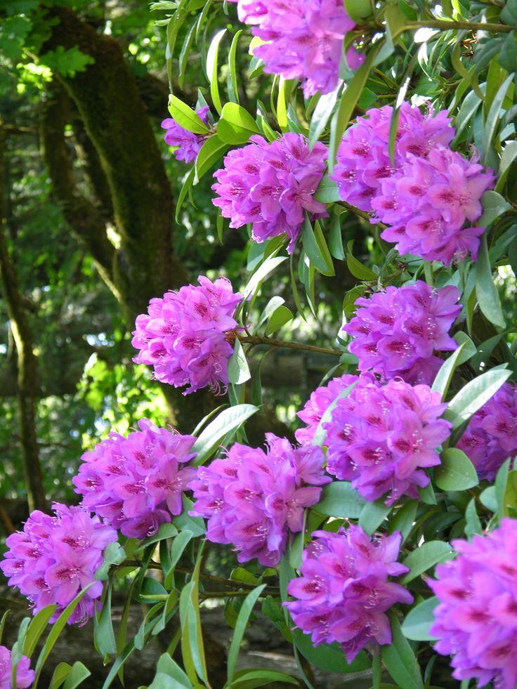 Plant Database: 519 Best Flower Azalea/Rhododendron Images On Pinterest