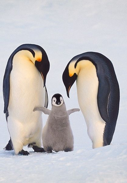 Emperor Penguin Family by Frans Lanting.