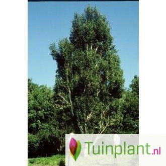 Berk (Betula pendula 'Fastigiata')
