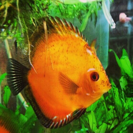 1000 images about discus and angelfish on pinterest for Best place to buy discus fish
