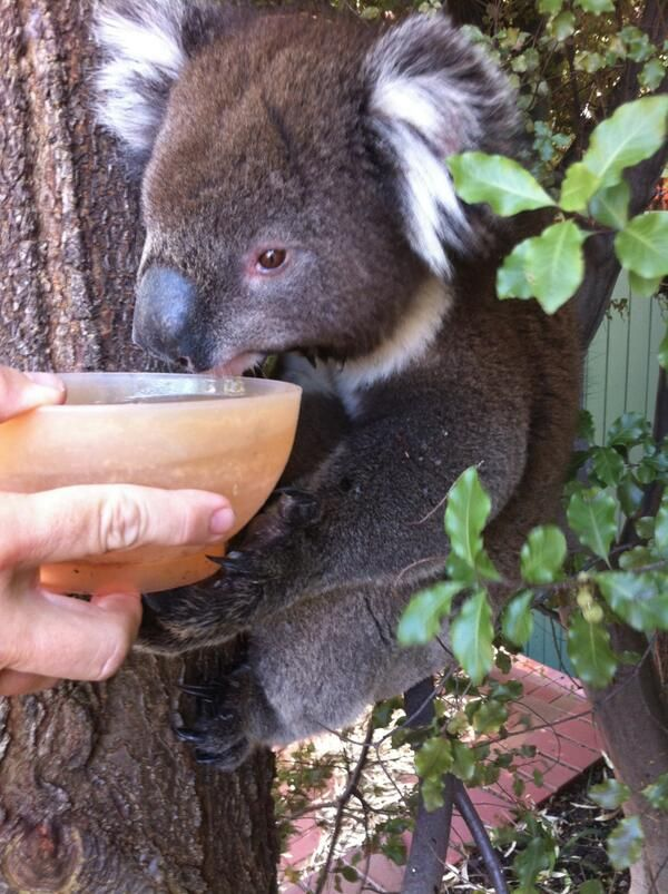 We're having a heatwave in Australia at the moment, here's a good Samaritan making sure the local koalas had access to water.
