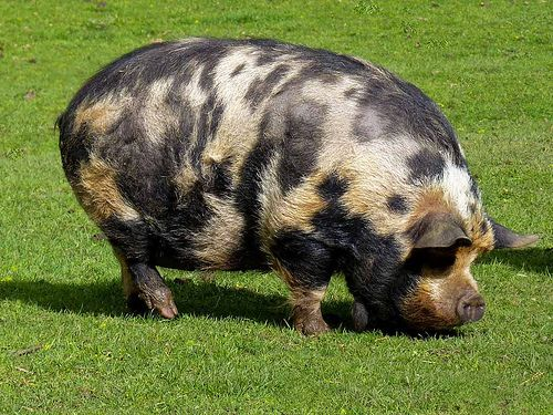 Gloucestershire Boar With Images Pig Breeds Pet Chickens