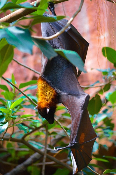 """""""About 1 percent of bats eat fish, mice, frogs or other small vertebrates. Only three species, all in Latin America, are vampires."""""""
