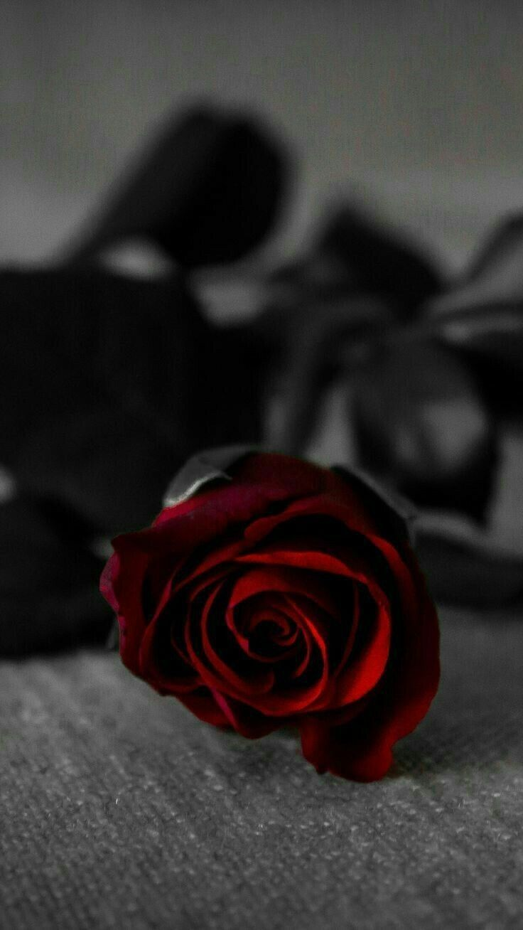 P I N T E R E S T Astridloveeeee Red Roses Wallpaper Rose Images Red Roses