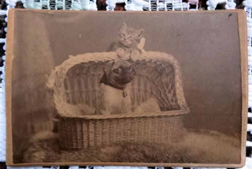 ANTIQUE CDV PHOTOGRAPH-VICTORIAN PETS- SWEET PUG DOG & CAT IN WICKER BASKET BED