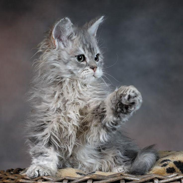 Selkirk Rex Kitten | Cattery Fair and Square | The Netherlands | www.kittentekoop.nl
