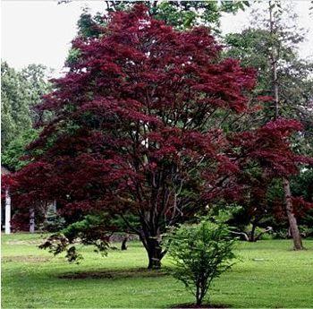 Érable du Japon 'Atropurpureum' Acer palmatum 'Atropurpureum'
