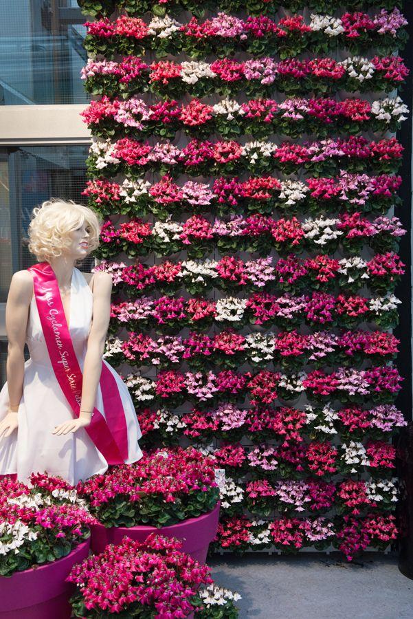 Cyclamen Super Serie Petticoat at 2016 Flower Trials