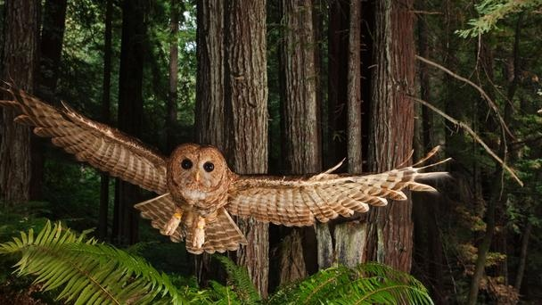 Looks like a painting!: Michael Nichols, National Geographic, Beautiful, Redwood Forests, Northern Spots, Spots Owl, Birds, Natural, Animal