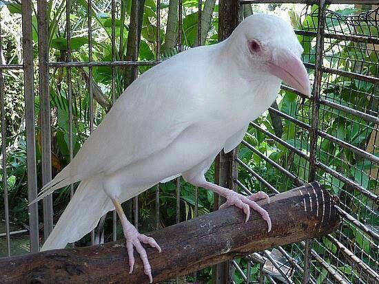 Albino crow - photo#33