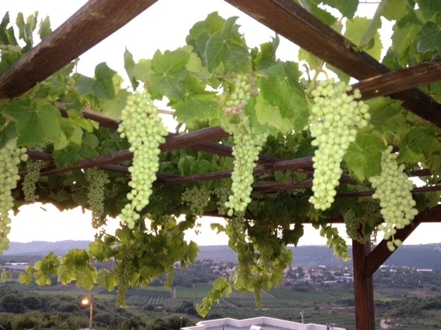 Grapes Hanging From Pergola Grape Arbor Backyard Pergola