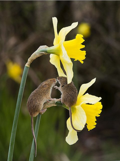Harvest Mice ~ On Daffodils.    (Photo By: Peter Smith 368 on Flickr.)