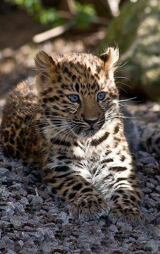 Female Amur Leopard Cub