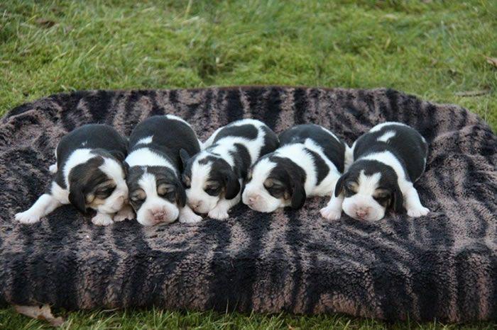 Beagle aus dem Zwinger von Helvesiek