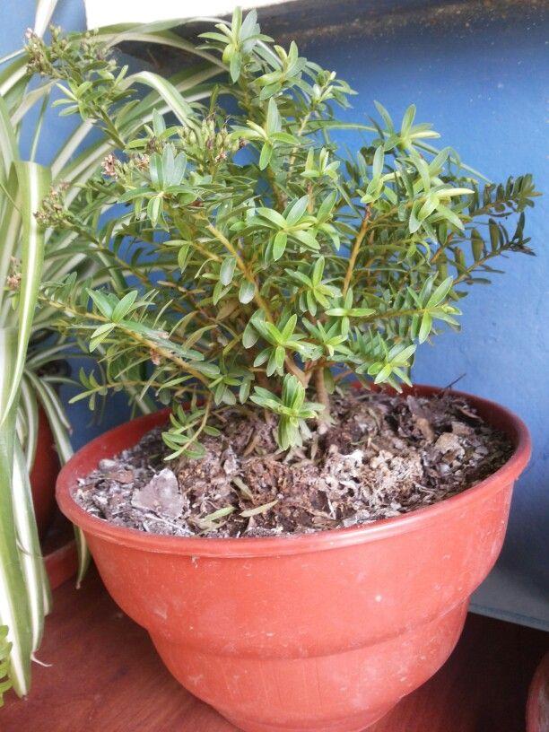 M s de 25 ideas incre bles sobre arbustos de hoja perenne - Especies de arbustos ...
