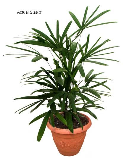 Lady Palm House Plant - excellent for improving air quality indoors, and removing toxins such as formaldehyde and ammonia