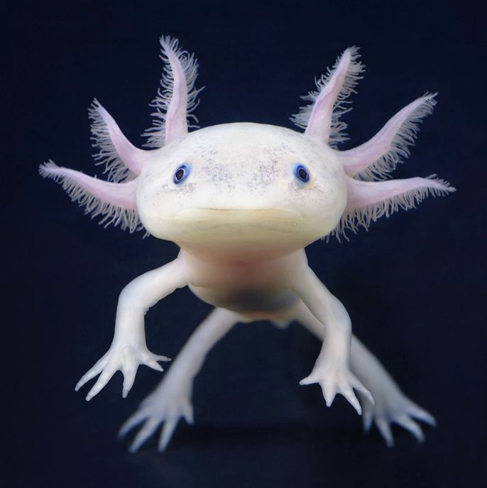 The Axolotl is a fascinating creature for a number of reasons, including its strange appearance, its ability to regenerate, and primarily the fact that it exhibits the phenomenon known as neoteny. The Axolotl remains in its larval form throughout its life. It grows much larger than a normal larval salamander, and it reaches sexual maturity in this larval stage. The animal is completely aquatic.