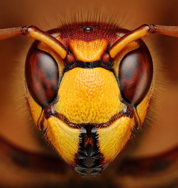 "A portrait of a hornet by Dusan Beno via guardian.co.uk: Bug-obsessed Slovakian student, Dusan Beno captures detailed macro portraits of insects and spiders. He catches his subjects in the great outdoors and then ""bug-naps"" them by taking them back to his home for photo-shoots. #Photography #Macro_Photography #Dusan_Beno #Hornet"