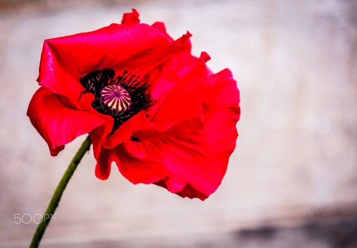 Red Poppys - null