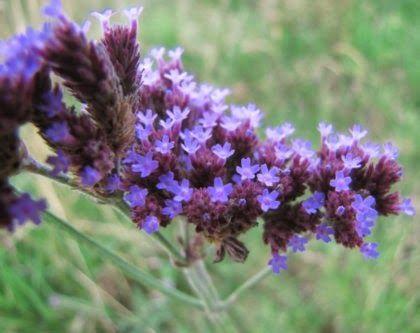 Verbena azul - Plantas Nativas de Buenos Aires y alrededores: LISTA DE PLANTAS NATIVAS E INSUMOS