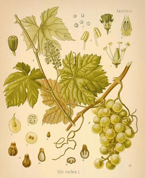 Modern Vine Graphic | Wine Grape Vines